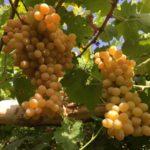新疆 吐鲁番的葡萄